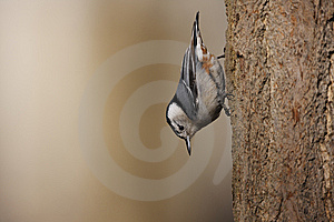 White-breasted Nuthatch On Tree Royalty Free Stock Images - Image: 9572199