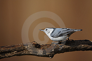White-breasted Nuthatch On Tree Stock Images - Image: 9572214