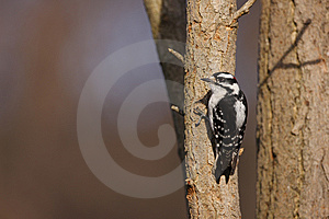 Downy Woodpecker (Picoides Pubescens Medianus) Stock Photography - Image: 9572232