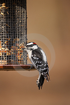 Downy Woodpecker (Picoides Pubescens Medianus) Royalty Free Stock Images - Image: 9572259