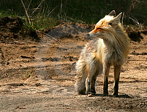 Red Fox 14 Royalty Free Stock Photography - Image: 9573447