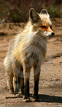 Red Fox 15 Stock Photos - Image: 9573613