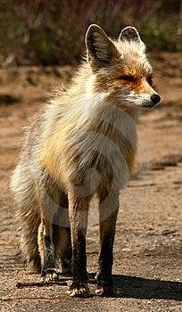 Red Fox 15 Stock Photos - Image: 9573613