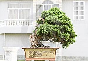 A Bonsai Of Banyan Stock Image - Image: 9579901