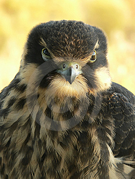 Hobby Falcon Royalty Free Stock Photos - Image: 9580238