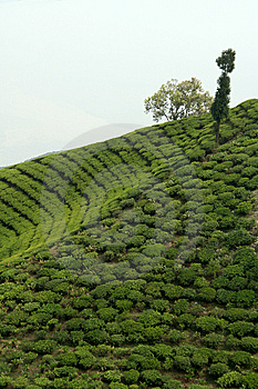 Trees On Tea Garden Royalty Free Stock Images - Image: 9580989