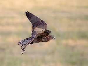 Falcon In Flight Stock Images - Image: 9581194
