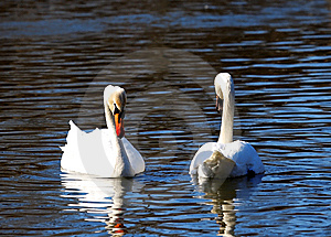 Two Big White Swans Royalty Free Stock Photos - Image: 9581358