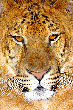 Portrait Of Tiger Royalty Free Stock Photos - Image: 9581408