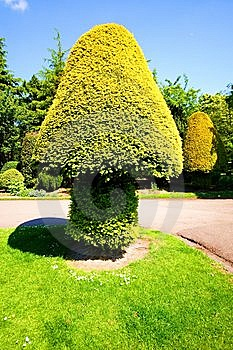 Conifer Topiary Royalty Free Stock Photography - Image: 9584247