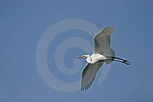 Great Egret In Flight Royalty Free Stock Image - Image: 9587446