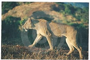 Lioness Stock Images - Image: 9589414