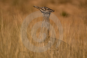 Kori Bustard Royalty Free Stock Photo - Image: 9593705