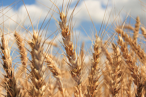 A wheat field with blue sky background Stock Photography