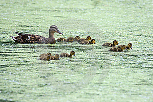 Mallard And Her Ducklings Royalty Free Stock Images - Image: 9604749