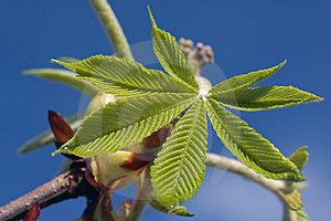 Fresh  Tree Leaves Opening In Early Spring Royalty Free Stock Photography - Image: 9607827
