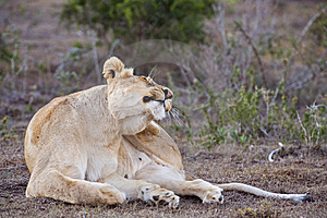 Lioness Scratch Royalty Free Stock Photography - Image: 9608477