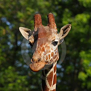 Giraffe Head Portrait Royalty Free Stock Images - Image: 9612579