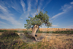 Ancient Cottonwood Tree Royalty Free Stock Photography - Image: 9613727