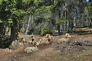 Mountain Sheeps Royalty Free Stock Image - Image: 9615466
