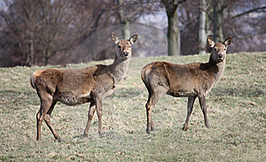 Wild Deer. Royalty Free Stock Images - Image: 9617579