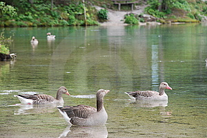 Greylag Geese Stock Photos - Image: 9618633