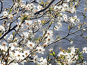 Blossoms At The Sea Royalty Free Stock Image - Image: 9619756