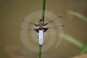 Broad-bodied Chaser Stock Photography - Image: 9619892