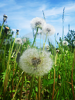 White Dandelions Stock Photography - Image: 9620582