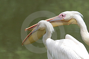 Pelicans Stock Image - Image: 9621591