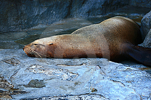 Lying Seal Royalty Free Stock Image - Image: 9622726