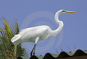 Great Egret Royalty Free Stock Photo - Image: 9622815