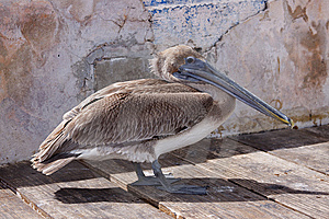 Lonley Brown Pelican Royalty Free Stock Photos - Image: 9622868