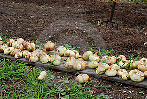 Freshly Harvested Onions In Garden With Pitchfork Stock Photography - Image: 9625372