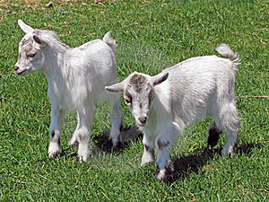 Baby goats Stock Image