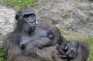 Female Gorilla With A Baby Stock Images - Image: 9630424