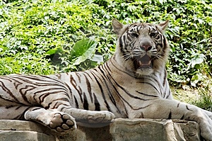 White Tiger Stock Images - Image: 9630994