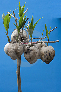 Coconut Seedlings Royalty Free Stock Photos - Image: 9631848