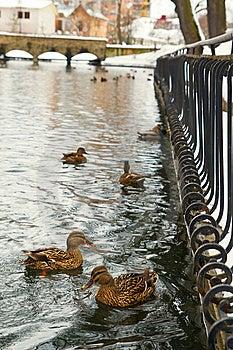 Mallard Ducks On Park Pond With Bridge In Winter Stock Image - Image: 9635711