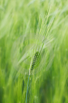 Spikelet Of Young Wheat Royalty Free Stock Photo - Image: 9636925