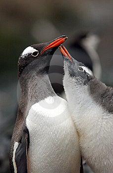 Gentoo Penguin Stock Photo - Image: 9641100