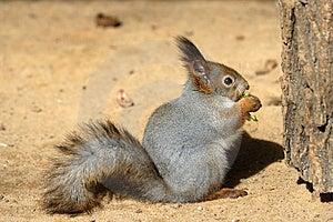 σκίουρος κατάποσης Στοκ Εικόνα - εικόνα: 9641651
