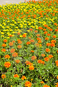 Field  Of  Marigold. Royalty Free Stock Image - Image: 9641866