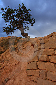 Pine Tree And Sandstone Wall Royalty Free Stock Photos - Image: 9646788