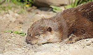 Otter Royalty Free Stock Image - Image: 9649786