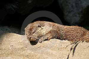 Otter Royalty Free Stock Photos - Image: 9649788