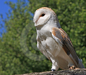 Owl Bird Animal Stock Image - Image: 9650921