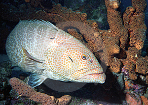Tiger Grouper Stock Image - Image: 9655821