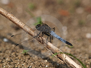 Broad-bodied Chaser Dragonfly Libellula Depressa Stock Images - Image: 9655914