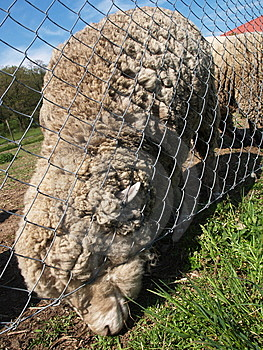 Domestic Sheep Ovis Aries Royalty Free Stock Photography - Image: 9655967
